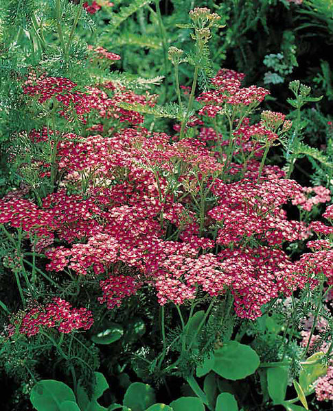 Yarrow (Cerise Queen) Seedling