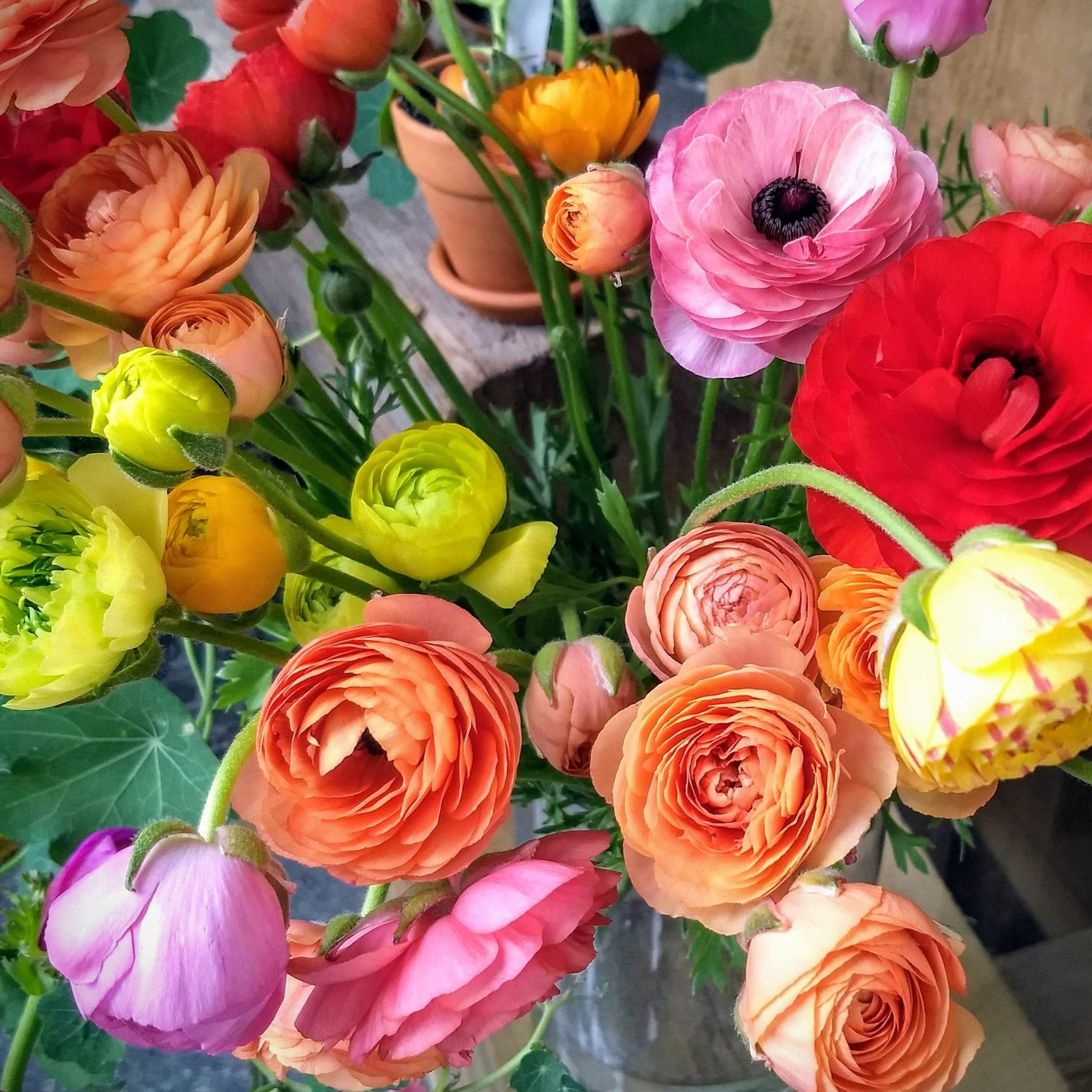 Colorful mixed ranunculus
