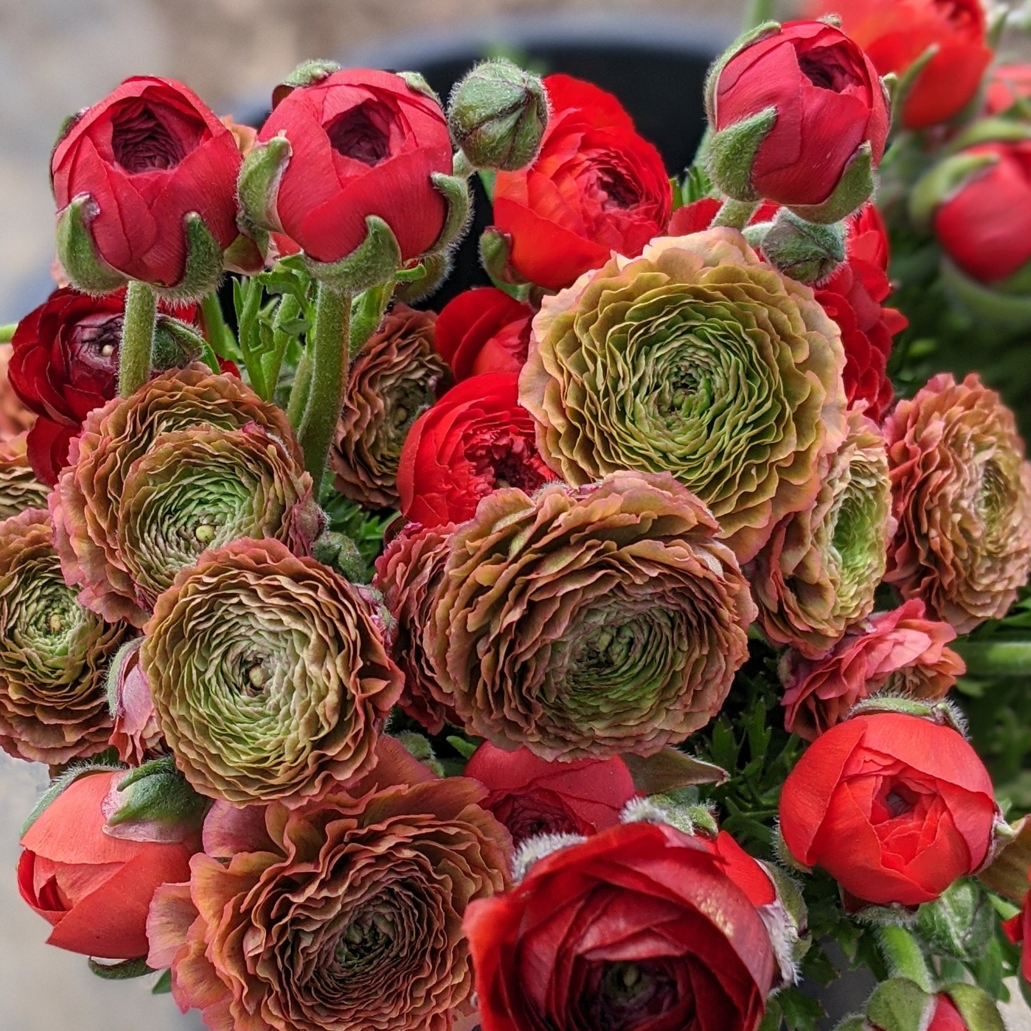 ranunculus minerva and red