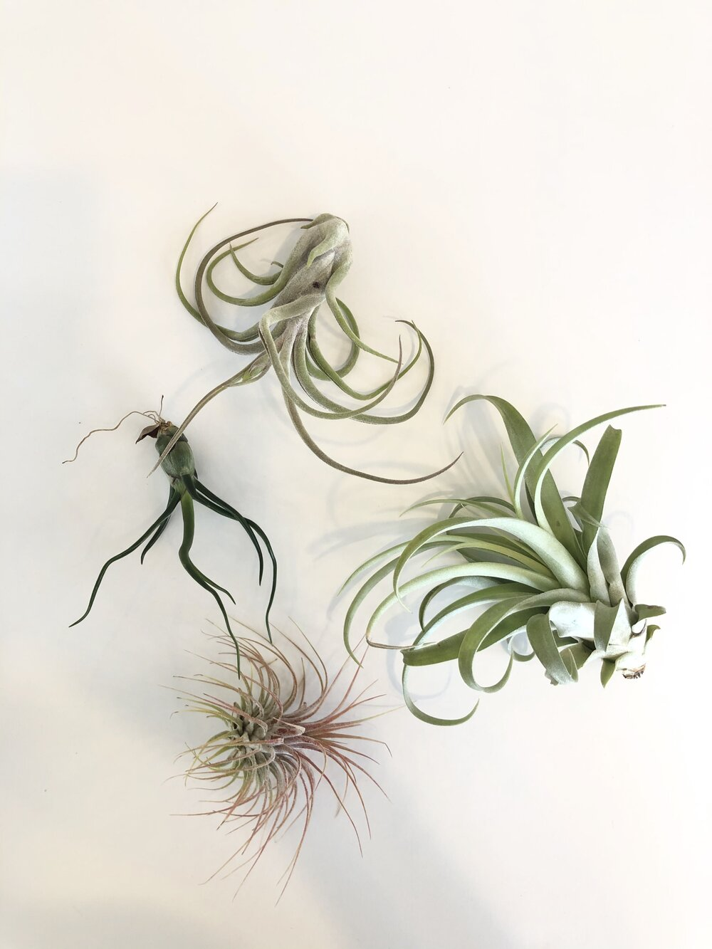 Air Plant Assortment