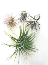 Load image into Gallery viewer, Air Plant Assortment