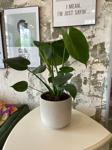 Split leaf Philodendron in a 6 inch pot