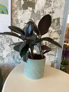 "rubber plant in 6.5'"" pot"