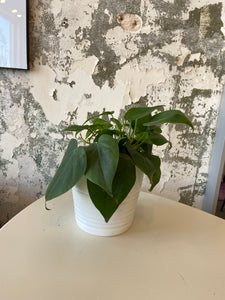 "philodendron in 4.5"" blue pot"
