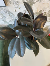 "Load image into Gallery viewer, rubber plant in 6.5'"" pot"