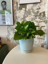 Load image into Gallery viewer, Pothos in a 6 inch pot