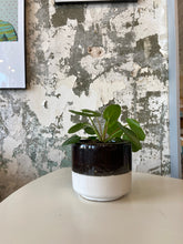 "Load image into Gallery viewer, Pilea in 5"" pot"