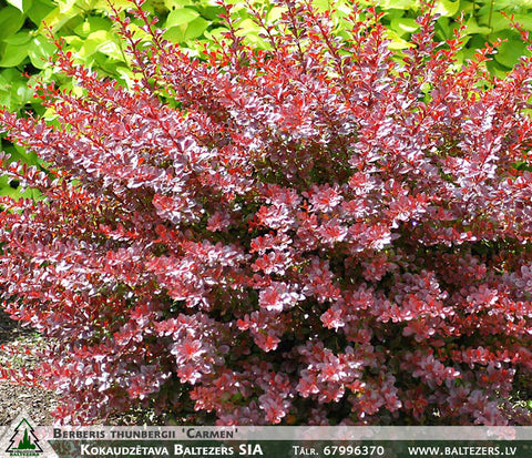 Berberis thunbergii 'Carmen' + Thunberg's Barberry (Japanese Barberry)