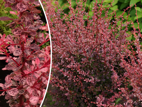 Berberis thunbergii 'Flamingo' + Thunberg's Barberry (Japanese Barberry)