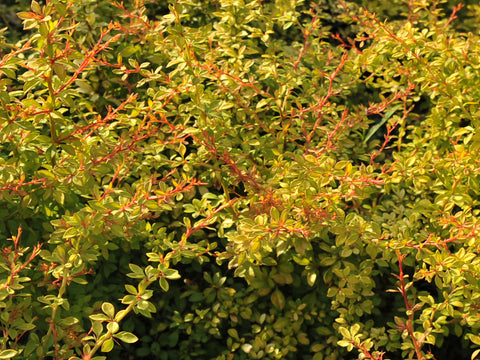Berberis thunbergii 'Golden Dream' + Tunberga bārbele