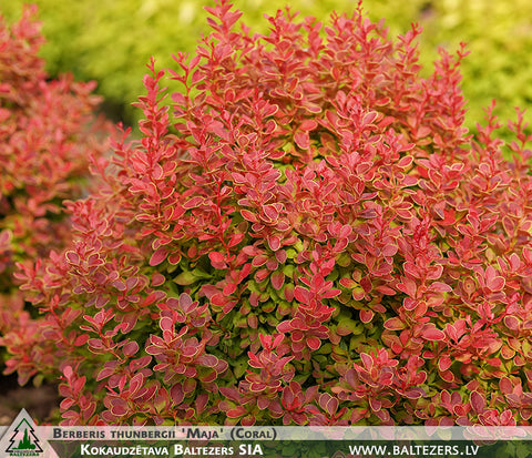 Berberis thunbergii 'Maja' (Coral) + Thunberg's Barberry (Japanese Barberry)