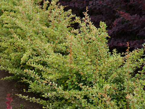 Berberis thunbergii 'Starburst' + Thunberg's Barberry (Japanese Barberry)