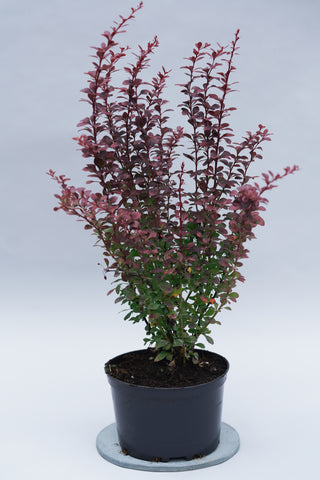 Berberis thunbergii 'Dart's Red Lady' + Барбарис тунберга