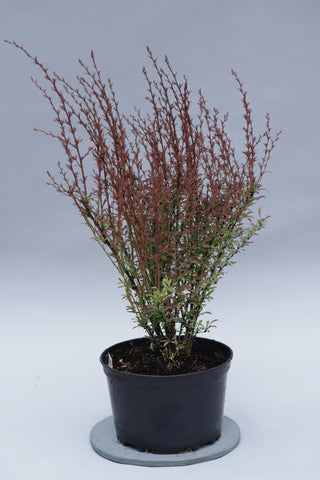 Berberis thunbergii 'Red Dream' + Thunberg's Barberry (Japanese Barberry)