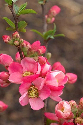 Chaenomeles superba 'Pink Lady' + Japanese Flowering Quince