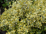 Euonymus fortunei 'Emerald'n Gold' + Fortune's Spindle, Wintercreeper