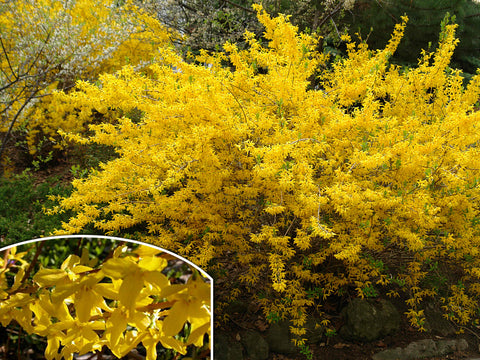 Forsythia x intermedia 'Flojor' (Minigold) + Border Forsythia