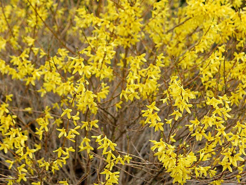 Forsythia x intermedia 'Nana' + Border Forsythia
