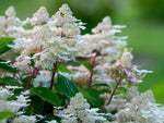 Hydrangea paniculata 'Early Harry' + Skarainā hortenzija