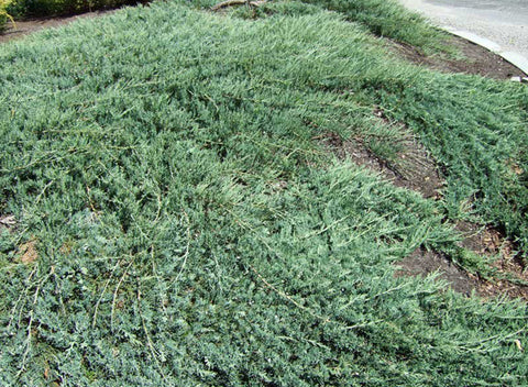 Juniperus horizontalis 'Wiltonii' + Creeping Juniper