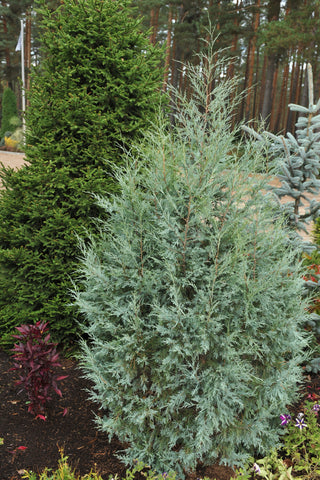 Juniperus scopulorum 'Wichita Blue' + Klinškalnu kadiķis