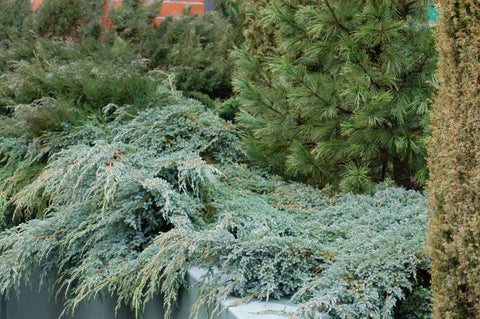 Juniperus squamata 'Blue Carpet' + Flaky Juniper