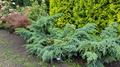 Juniperus squamata 'Blue Swede' + Flaky Juniper