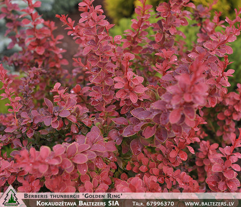 Berberis thunbergii 'Golden Ring' + Tunberga bārbele