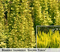Berberis thunbergii 'Golden Torch' + Tunberga bārbele