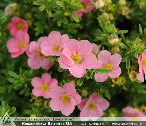 Potentilla fruticosa 'Lovely Pink' + Лапчатка кустарниковая