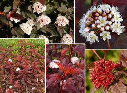Physocarpus opulifolius 'Mindia' (Diable D'or) + Ninebark