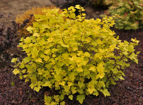 Physocarpus opulifolius 'Minange' (Angel Gold) + Ninebark