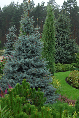 Picea pungens f glauca + Blue spruce