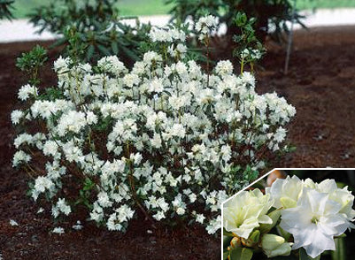 Rhododendron 'April Snow' + Рододендрон