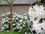 Rhododendron 'Cunningham's White' + Rododendrs