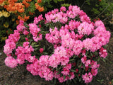 Rhododendron 'Kalinka' + Rododendrs