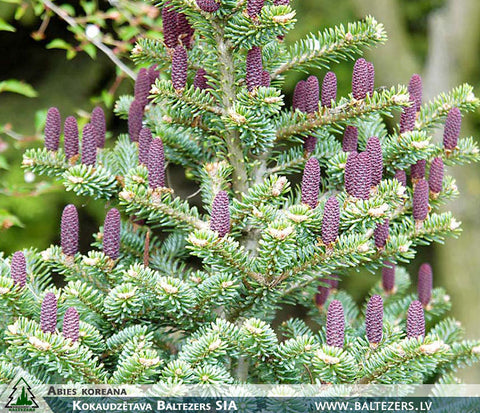 Abies koreana + Korejas baltegle