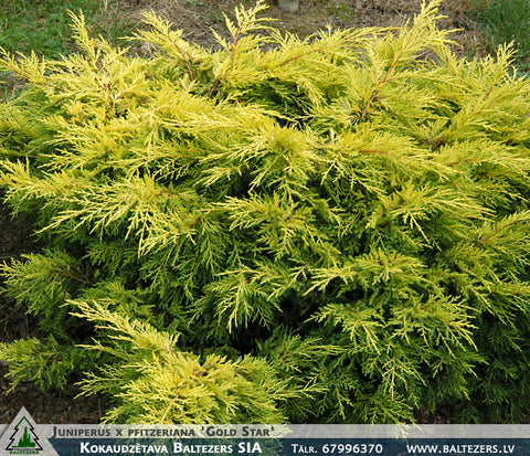 Juniperus x pfitzeriana 'Gold Star' + Можжевелъник
