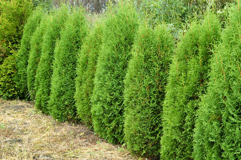 Thuja occidentalis 'Boothii' + Туя западная