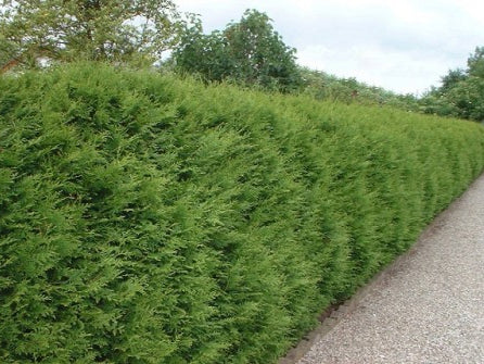 Thuja occidentalis 'Brabant' + Туя западная