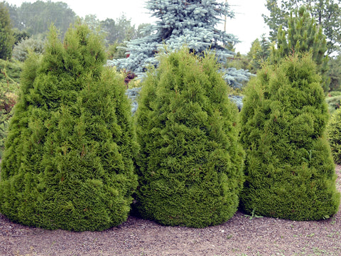 Thuja occidentalis 'Dumosa' + Туя западная