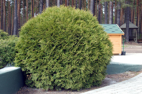 Thuja occidentalis 'Globosa' + Туя западная