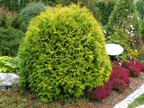 Thuja occidentalis 'Golden Globe' + Туя западная