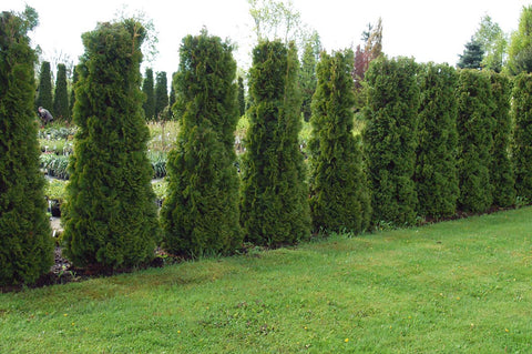 Thuja occidentalis 'Holmstrup' + Туя западная