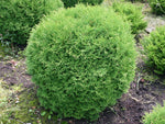 Thuja occidentalis 'Tiny Tim' + Туя западная