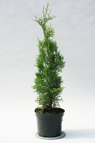 Thuja occidentalis 'Malonyana' + Туя западная