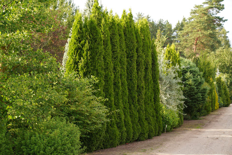 Thuja occidentalis 'Smaragd' + Туя западная