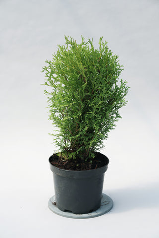 Thuja occidentalis 'Tiny Tim' + Rietumu tūja