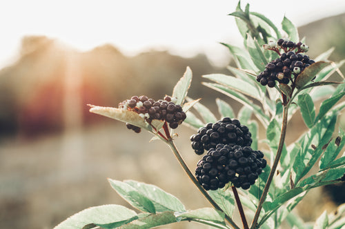 INGREDIENT SPOTLIGHT: ELDERBERRY