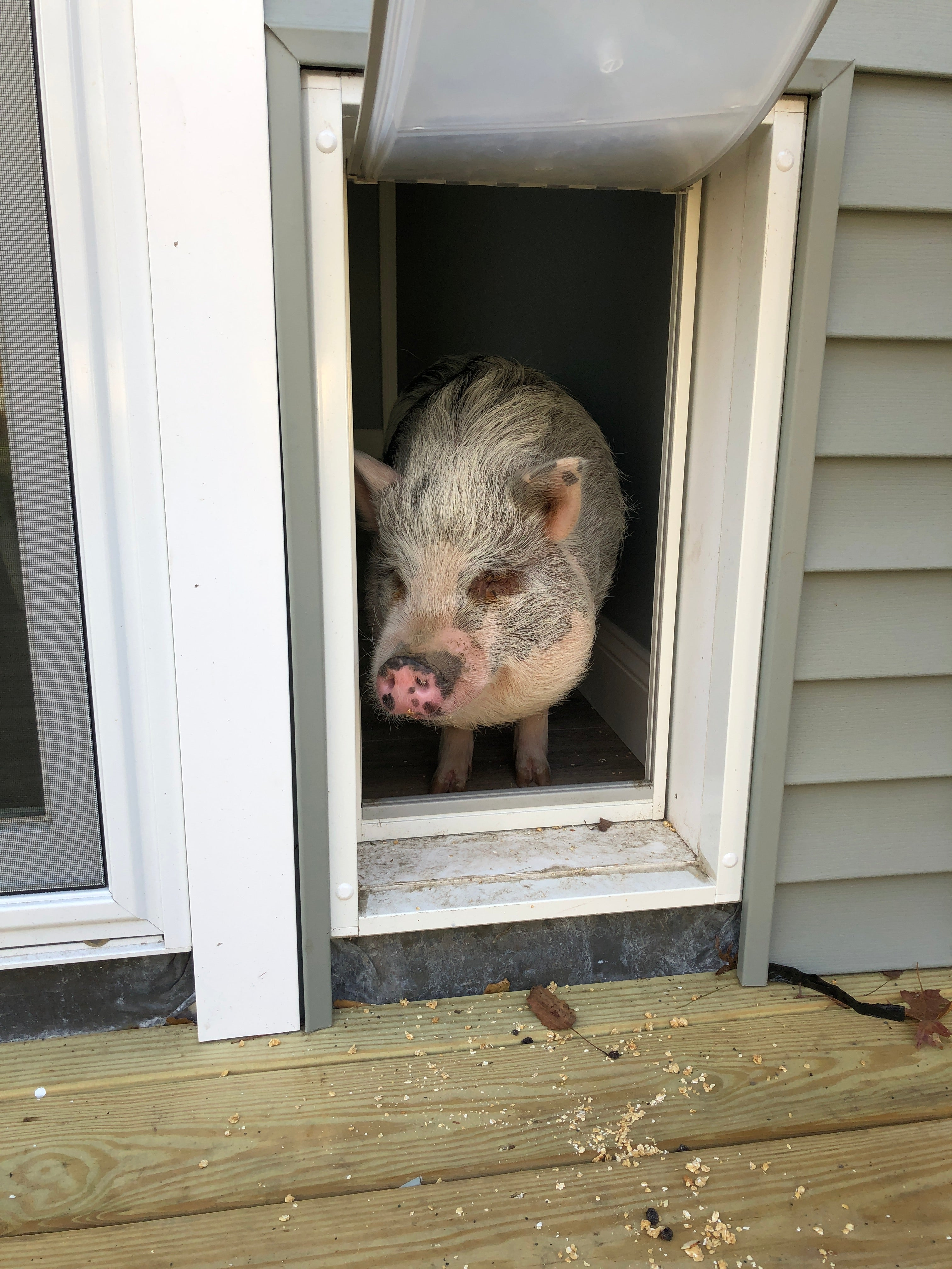 pig using the Endura Flap pet door for extreme weather and energy efficiency